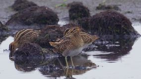 Flock of birds - Common Snipe Gallinago gallinago walk through the swamp among the bumps stock video
