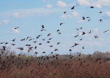 Flock of birds, Common Starling Royalty Free Stock Photos