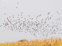 Flock of birds, Common Starling Stock Photo