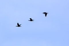 Flock of Birds. Flock of Cormorants Against Blue Sky. Over Vardar River, Macedonia Royalty Free Stock Photography