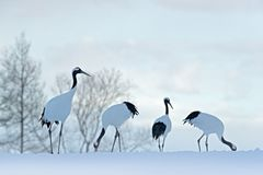 Flock birds dancing. Flying White birds Red-crowned crane, Grus japonensis, with open wing, blue sky with white clouds in backgrou