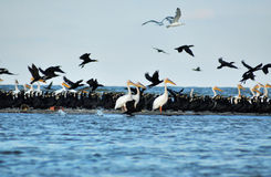 Flock of birds in the Danube delta Royalty Free Stock Photo