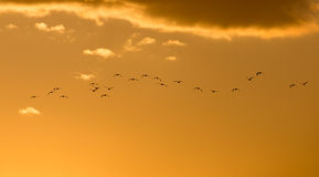 A flock of birds at dawn, the sun Stock Image