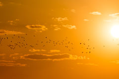 A flock of birds at dawn, the sun Stock Images