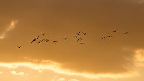 A flock of birds at dawn, the sun Royalty Free Stock Images