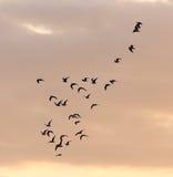 A flock of birds at dawn, the sun royalty free stock photos