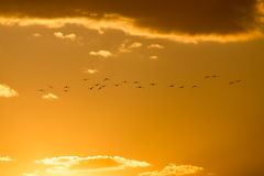 A flock of birds at dawn, the sun Royalty Free Stock Photography