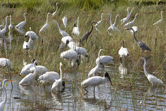 Flock of Birds. Flock of different types of wading birds: Great Blue Heron (Ardea herodias), Great Egret (Ardea alba) and Wood Stork (Mycteria americana) in an Stock Images