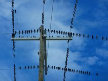 Flock of birds on a electrical wires. Flock of birds sitting on electrical wires. Geometric shapes created by electrical wires and poles. Sea birds resting on stock photos