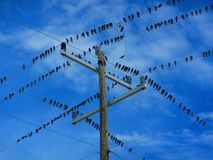 Flock of birds on a electrical wires. Flock of birds sitting on electrical wires. Geometric shapes created by electrical wires and poles. Sea birds resting on Stock Images
