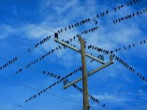 Flock of birds on a electrical wires. Flock of birds sitting on electrical wires. Geometric shapes created by electrical wires and poles. Sea birds resting on Stock Photo