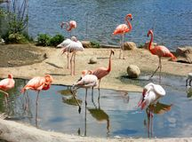 Flock of the birds flamingo. Flock of the beautiful birds flamingo on sandy coast in Africa Stock Photo