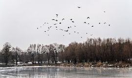 Flock of birds flew up on the ice lake and snowy forest landscap Royalty Free Stock Photography