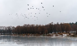 Flock of birds flew up on the ice lake and snowy forest landscap Royalty Free Stock Photo