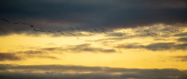 A flock of birds flies at sunset.  stock images