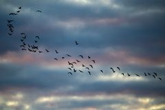 A flock of birds flies at sunset.  royalty free stock photo