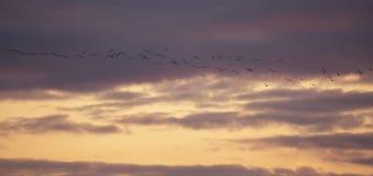 A flock of birds flies at sunset.  stock photos