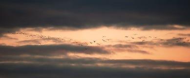 A flock of birds flies at sunset.  stock photo