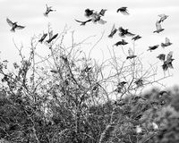 Flock of Birds in Flight. A shot as a flock of birds perched on a small tree took to the air Royalty Free Stock Image