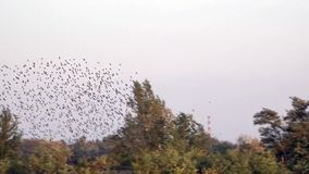 A flock of birds flutters overhead.Spontaneous movement of a huge mass of birds.