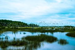 Flock of birds fly over south carolina low country marsh on cloudy day. A group of seabirds fly in a flock over the salted water marsh of south carolina stock photos