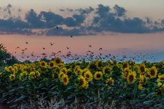A flock of birds flying above a sunflower field at sunset against the colourful gradient colour of the sky stock image