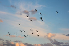 Flock of birds flying across a fiery sunset sky. Summer autumn scene. Horizontal picture Royalty Free Stock Photography