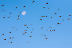 Flock of birds flying against moon. Stock Photo