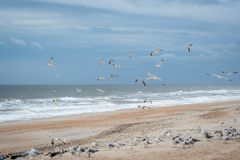 Flock of birds flying along the coastline of Amelia Island, Florida. A noticeable bunch of birds were seen gliding in Atlantic coast stock images