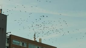 Flock of black birds circling in a town stock video footage