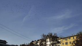 Flock of birds flying in autumn city stock footage