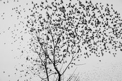 Flock of birds flying away. A large flock of birds flying away from the trees Royalty Free Stock Images