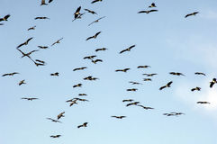Flock of birds. Flying in the blue sky of Namibia Stock Photos