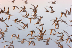 FLOCK OF BIRDS FLYING AT DAWN Stock Image