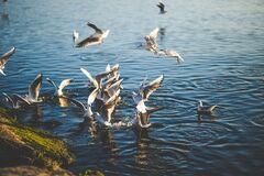 Flock of Birds Flying and Diving over Water during Daytime Royalty Free Stock Photo