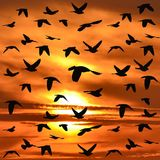 Flock of birds flying. Over a red sky Stock Image