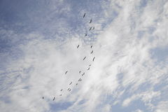 Flock of birds flying in formation in afternoon sky Royalty Free Stock Photography