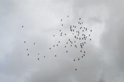 Flock of birds flying Stock Photos