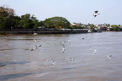 Flock of birds. Flock of flying birds in Myanmar. View of river side Stock Image