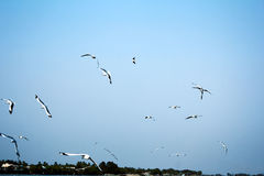 Flock of birds. Flock of flying birds in Myanmar. View of river side Royalty Free Stock Photography