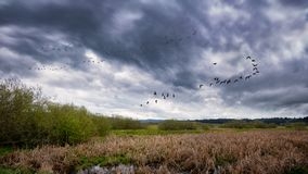 Flock of Birds Flying Near a Marsh. Northern California, USA Stock Photography