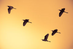 Flock of birds flying at orange sky background Stock Photo