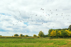 Flock of birds flying over empty field Royalty Free Stock Photos