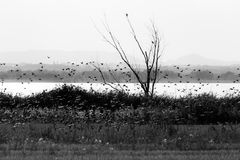 A flock of birds flying over a lake shore, with a tree and veget. Ation in the foreground and distant hills in the foreground Stock Photography