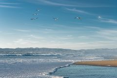 Flock of birds flying over the ocean stock image