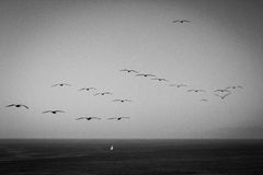 Flock of birds flying over the ocean with small sailboat on water Stock Images