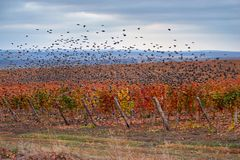 Flock of birds flying over the vineyard. stock photography