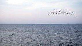 A flock of birds flying at sea Horizon at sunset over steady water with no waves stock video footage