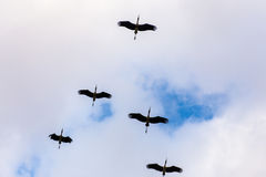 Flock of birds Flying in the sky Royalty Free Stock Photography