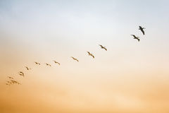 A flock of birds flying in the sky. Pelicans flock of birds flying in the sky Royalty Free Stock Images